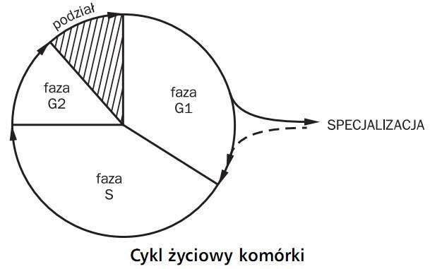 Cykl życiowy komórki. Faza G1, faza S, faza G2. Podział, specjalizacja.