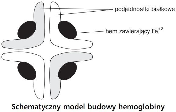 Schematyczny model budowy hemoglobiny. Podjednostki białkowe, hem zawierający Fe+2.