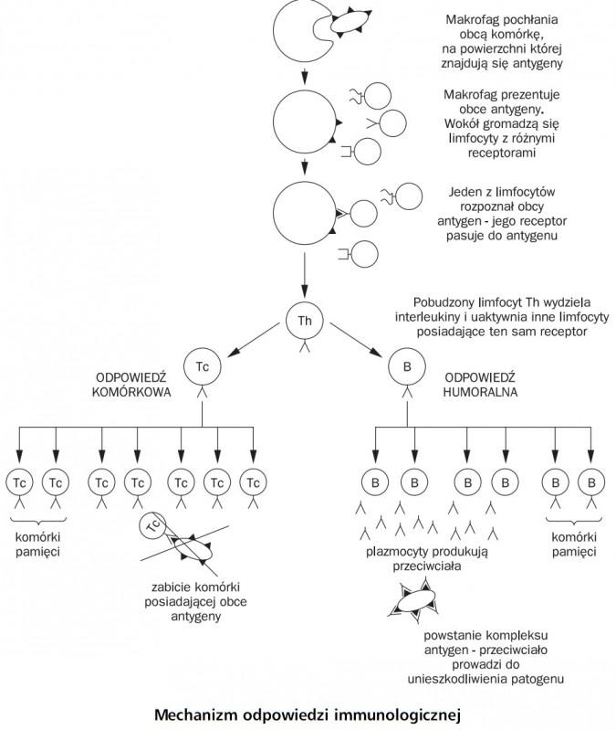 Mechanizm odpowiedzi immunologicznej. Makrofag pochłania obcą komórkę, na powierzchni której znajdują się antygeny. Makrofag prezentuje obce antygeny, wokół gromadzą się limfocyty z różnymi receptorami. Jeden z limfocytów rozpoznał obcy antygen - jego receptor pasuje do antygenu. Pobudzony limfocyt Th wydziela interleukiny i uaktywnia inne limfocyty posiadające ten sam receptor. Odpowiedź komórkowa, odpowiedź humoralna. Komórki pamięci, zabicie komórki posiadającej obce antygeny. Plazmocyty produkują przeciwciała, komórki pamięci, powstanie kompleksu antygen - przeciwciało prowadzi do unieszkodliwienia patogenu.
