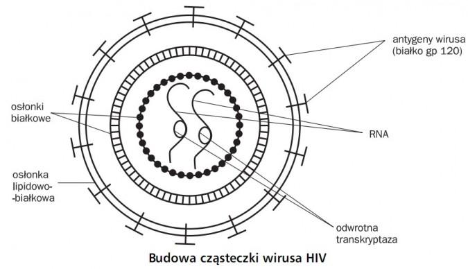 Budowa cząsteczki wirusa HIV. Osłonki białkowe, osłonka lipidowo-białkowa, odwrotna transkryptaza, RNA, antygeny wirusa (białko gp 120).