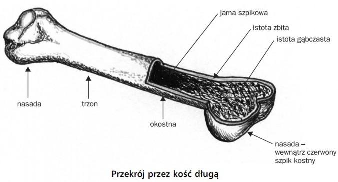 Przekrój przez kość długą. Nasada, trzon, okostna, jama szpikowa, istota zbita, istota gąbczasta, nasada - wewnątrz czerwony szpik kostny.