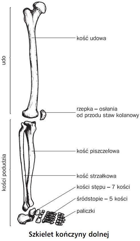Ruch Układ Szkieletowy Człowieka Biologia Opracowaniapl