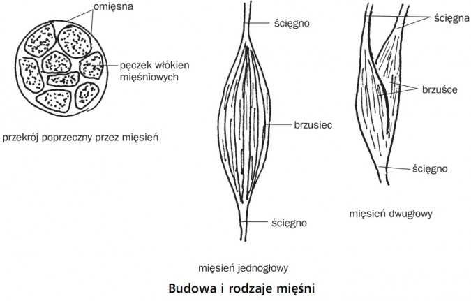 Budowa i rodzaje mięśni. Przekrój poprzeczny przez mięsień. Omięsna, pęczek włókien mięśniowych. Mięsień jednogłowy. Ścięgno, brzusiec, ścięgno. Mięsień dwugłowy. Ścięgna, brzuśce, ścięgno.