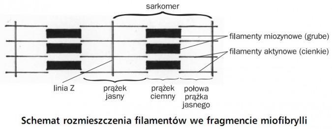 Schemat rozmieszczenia filamentów we fragmencie miofibrylli. Sarkmer, linia Z, prążek jasny, prążek ciemny, połowa prążka jasnego, filamenty miozynowe (grube), filamenty aktynowe (cienkie).