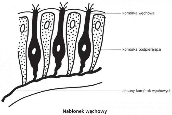Nabłonek węchowy. Komórka węchowa, komórka podpierająca, aksony komórek węchowych.