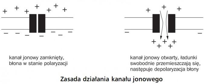 Zasada działania kanału jonowego. Kanał jonowy zamknięty, błona w stanie polaryzacji. Kanał jonowy otwarty, ładunki swobodnie przemieszczają się, następuje depolaryzacja błony.