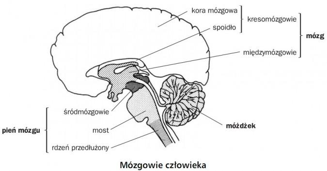 Mózgowie człowieka. Pień mózgu: śródmózgowie, most, rdzeń przedłużony. Móżdżek. Mózg: międzymózgowie, kresomózgowie (kora mózgowa, spoidło).