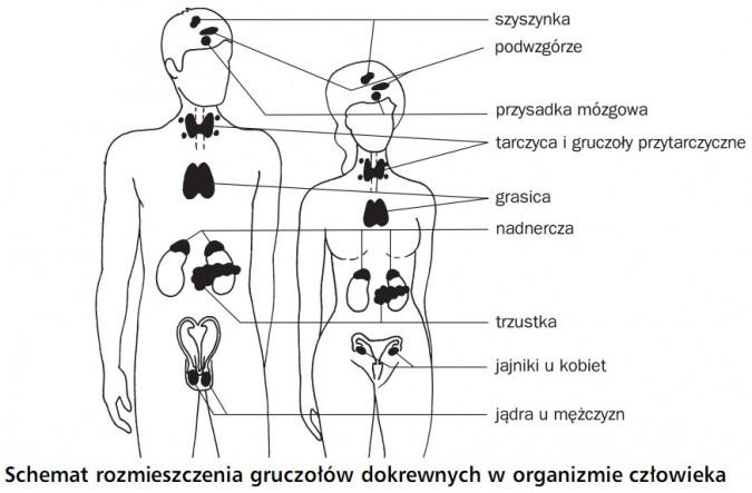 Schemat rozmieszczenia gruczołów dokrewnych w organizmie człowieka. Szyszynka, podwzgórze, przysadka mózgowa, tarczyca i gruczoły przytarczyczne, grasica, nadnercza, trzustka, jajniki u kobiet, jądra u mężczyzn.
