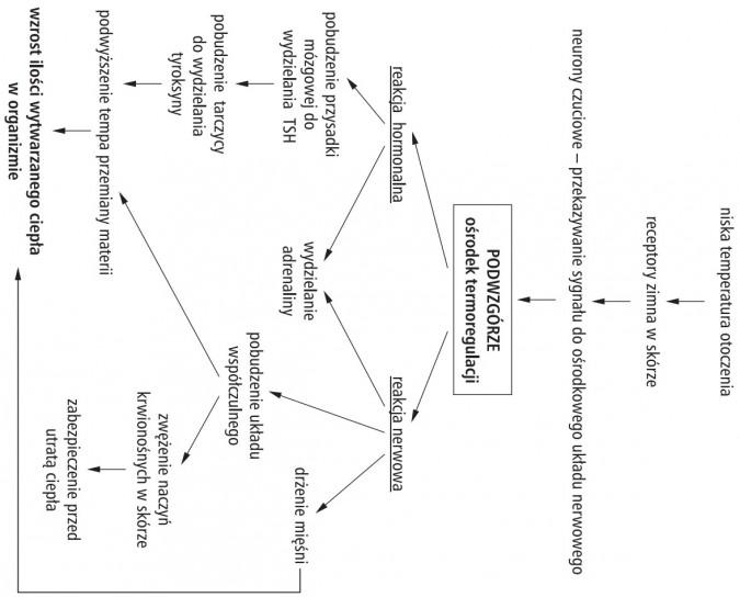 Termoregulacja. Niska temperatura otoczenia. Receptory zimna w skórze. Neurony czuciowe - przekazywanie sygnału do ośrodkowego układu nerwowego. Podwzgórze (ośrodek termoregulacji). Reakcja hormonalna, reakcja nerwowa. Pobudzenie przysadki mózgowej do wydzielania TSH, pobudzenie tarczycy do wydzielania tyroksyny, podwyższenie tempoa przemiany materii, wydzielanie adrenaliny, drżenie mięśni, pobudzenie układu współczulnego, zwężenie naczyń krwionośnych w skórze, zabezpieczenie przed utratą ciepła, wzrost ilości wytwarzanego ciepła w organizmie.