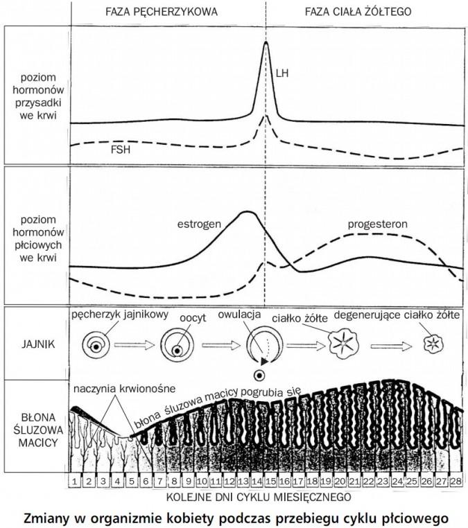 Zmiany w organizmie kobiety podczas przebiegu cyklu płciowego. Faza pęcherzykowa, faza ciała żółtego. Poziom hormonów przysadki we krwi, LH, FSH. Poziom hormonów płciowych we krwi, estrogen, progesteron. Jajnik, błona śluzowa macicy, pęcherzyk jajnikowy, oocyt, owulacja, ciałko żółte, degenerujące ciałko żółte, naczynia krwionośne, błona śluzowa macicy pogrubia się. Kolejne dni cyklu miesięcznego.