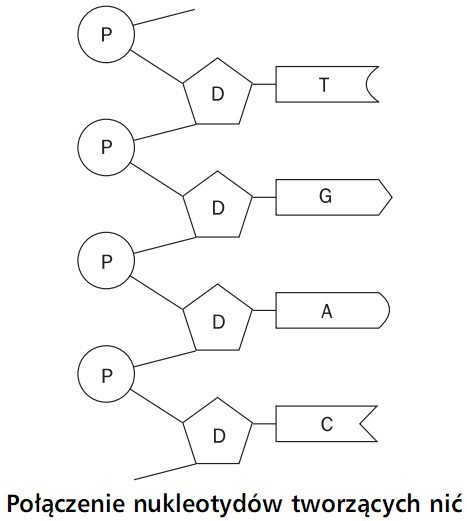 Kwasy Nukleinowe Dna I Rna Biologia Opracowania Pl