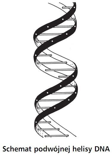 Schemat podwójnej helisy DNA.