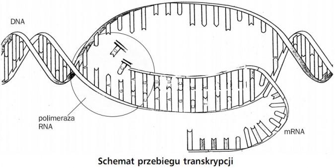 Schemat przebiegu transkrypcji. DNA, polimeraza RNA, mRNA.