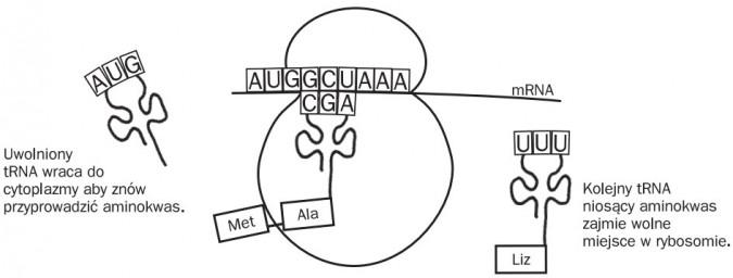 Elongacja. Uwolniony tRNA wraca do cytoplazmy, aby znów przyprowadzić aminokwas. Met, Ala, Liz, mRNA. Kolejny tRNA niosący aminokwas zajmie wolne miejsce w rybosomie.
