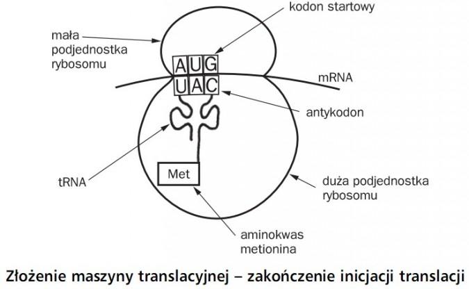 Złożenie maszyny translacyjnej - zakończenie inicjacji translacji. Mała podjednostka rybosomu, tRNA, aminokwas, metionina, met, duża podjednostka rybosomu, antykodon, mRNA, kodon startowy.