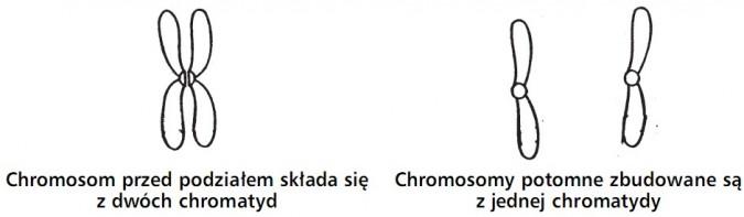 Chromosom przed podziałem składa się z dwóch chromatyd. Chromosomy potomne zbudowane są z jednej chromatydy.