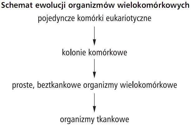 Schemat ewolucji organizmów wielokomórkowych: pojedyncze komórki eukariotyczne - kolonie komórkowe - proste, beztkankowe organizmy wielokomórkowe, organizmy tkankowe.